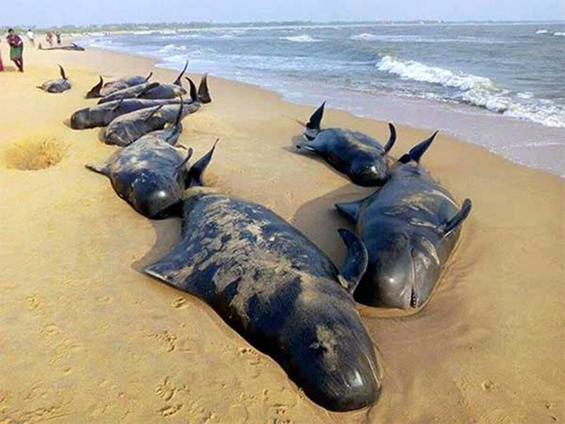 Sperm-Whales-Found-Dead-In-Germany