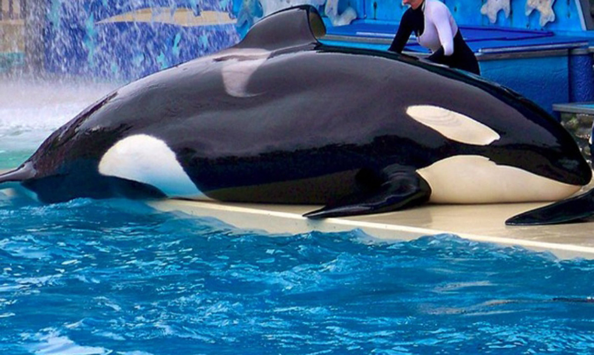 sea worlds orca whales essay The growing popularity and concern to help free seaworld's captive whales has hit an all-time high, and with this growing demand to free the orca whales it will be only a matter of time before we can see a world without whales, to be more specific a seaworld without whales.