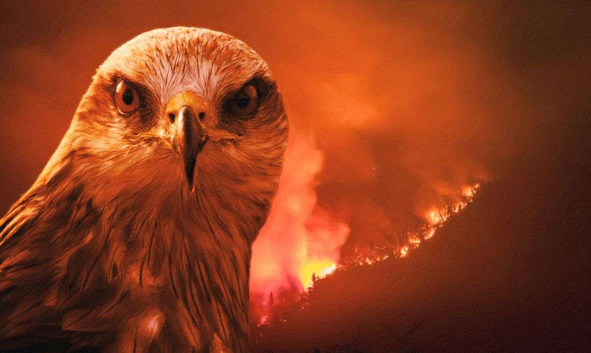 Scientists Find that Certain Birds of Prey Deliberately Spread Wildfires