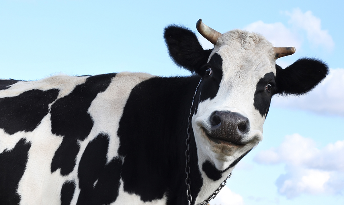Is the Milk About to Meet Its Maker? 52 New York Dairy Farms Recently Lost Their Contracts Due to Lack of Demand