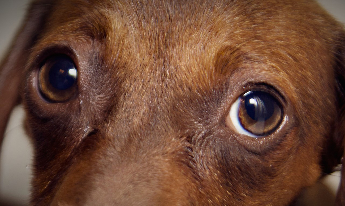 Euthanasia Drug Found In Well-Known Brands of Dog Food
