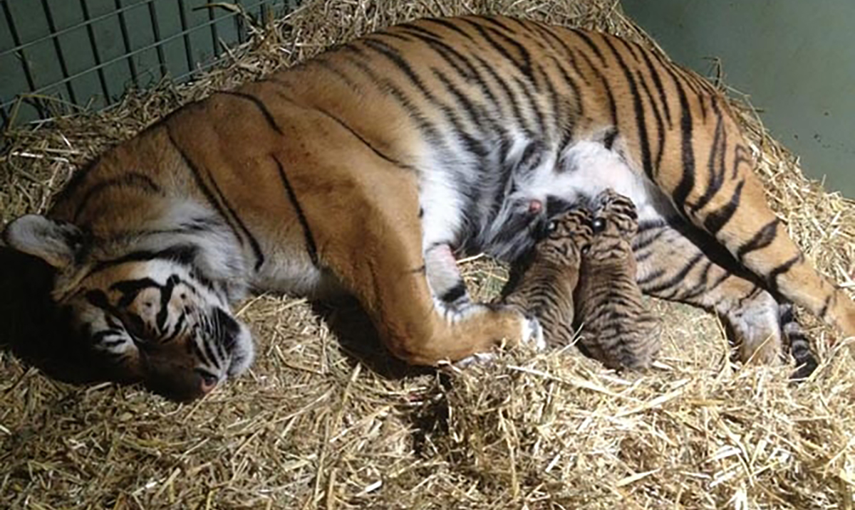Motherly Instincts Kick In After Tiger Gives Birth to Lifeless Cub