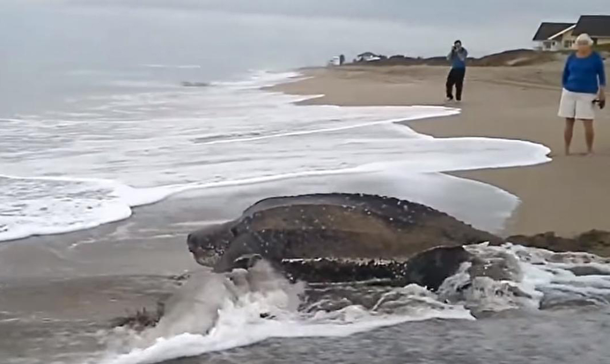 World's Largest Sea Turtle Makes Mesmerizing Appearance (Video)