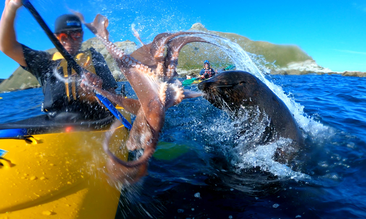 This Seal Slapping Kayaker In The Face With An Octopus Will Leave You Screaming!