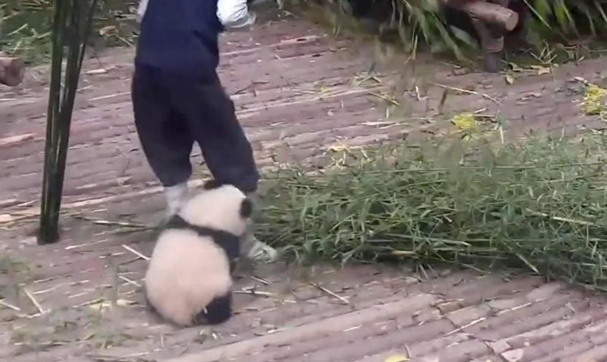 This Viral Video Of A Baby Panda Trying To Play With Its Sitter Will Warm Your Heart