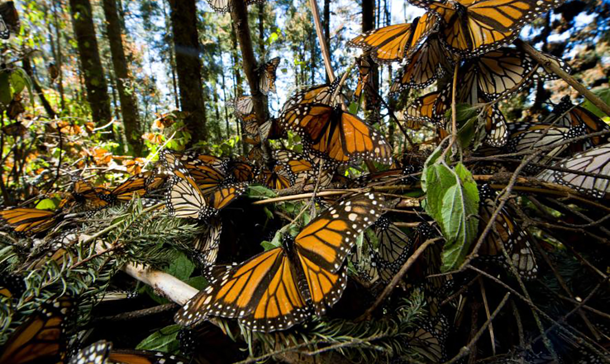Watch this Stunning Footage as Millions of Monarch Butterflies Fly Through Mexico (Video)