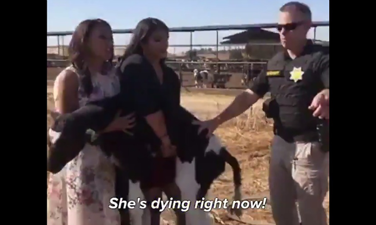 3 Women Were Arrested On Grand Theft Charges For Saving A Baby Calf That Was Thrown in the Trash