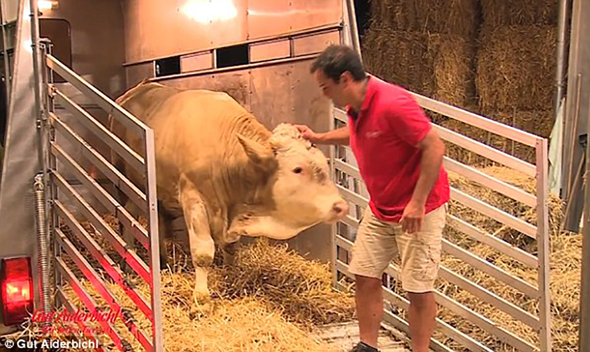 This Chained Bull Does Dance Of Delight When Finally Released From His Shackles (Video)
