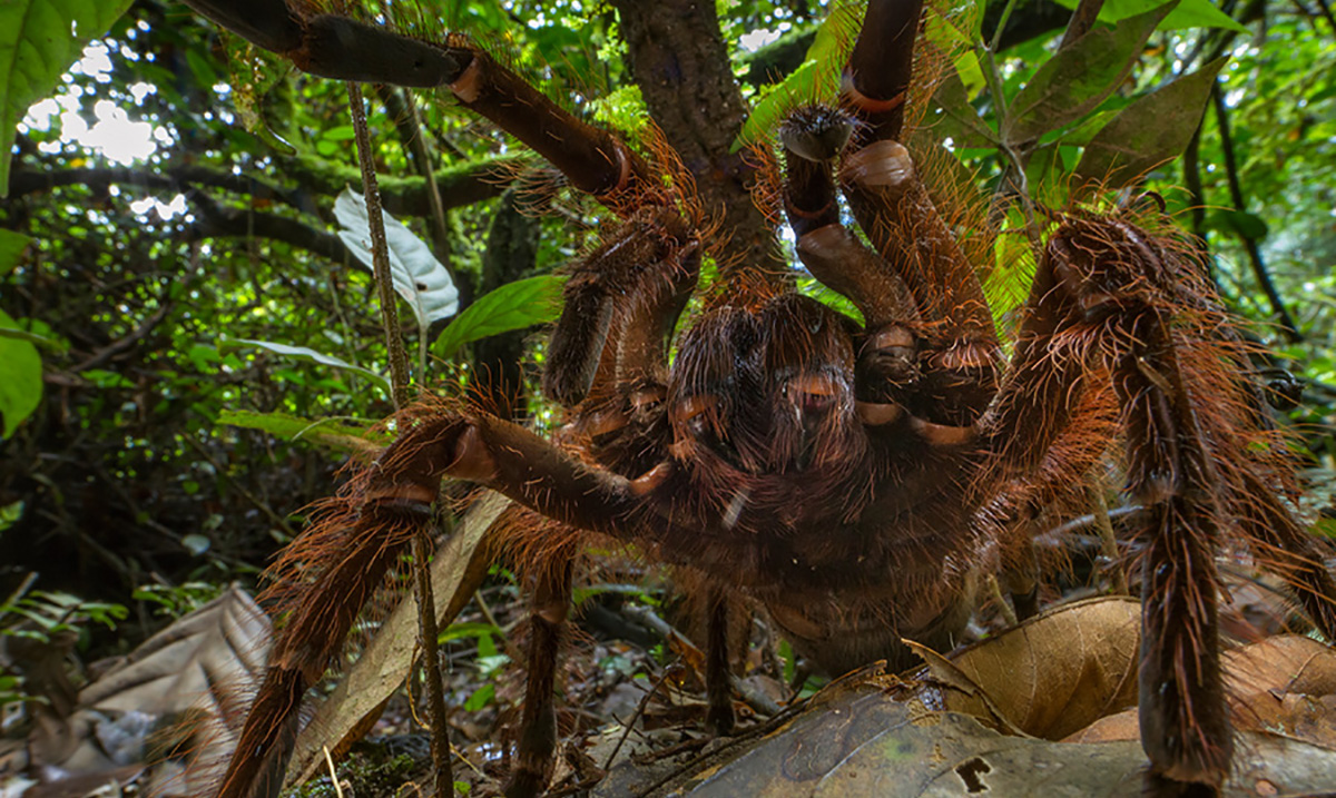 This Puppy Sized Spider Is the Stuff that Nightmares Are Made Of