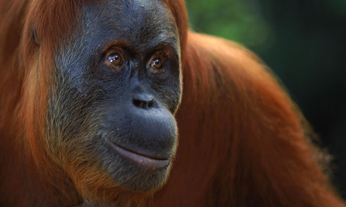Orangutans Are Officially the Only Primate Other Than Humans That Can Discuss the Past