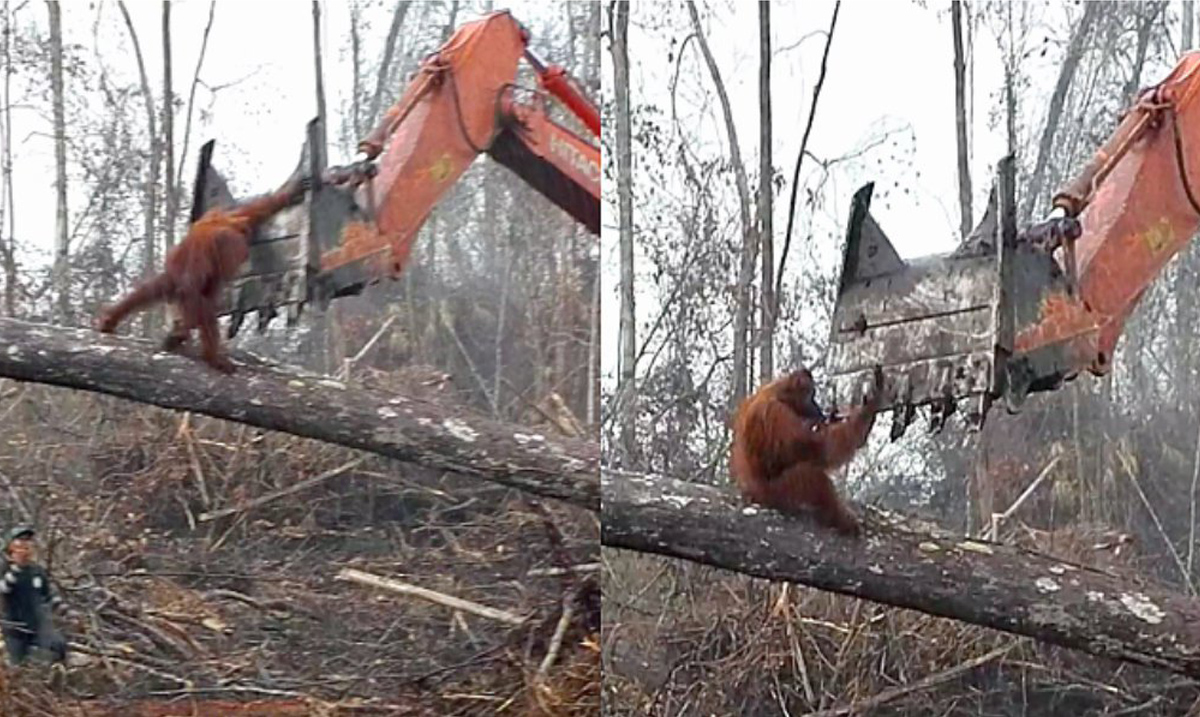 Heartbreaking Footage Shows Orangutan Fighting An Excavator to Save Its Home