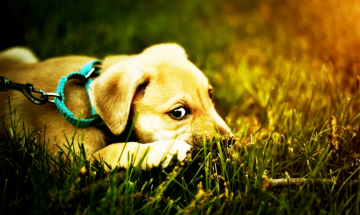 Canine Cancer Linked to Lawn Chemicals In Jaw-Dropping Study