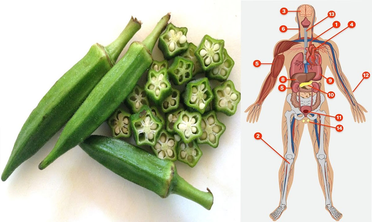 Okra Prevents Hunger, fights Diabetes, Lowers Cholesterol And Removes Stress And Fatigue