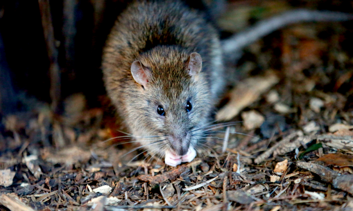 This Rat Broke Into An ATM Ate $18,000 And Then Died