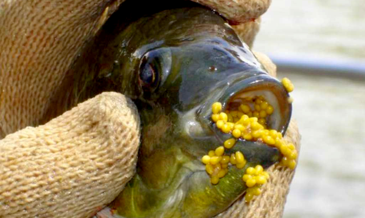 7 Horrifying Things That Will Make You Never Want to Eat Tilapia Ever Again