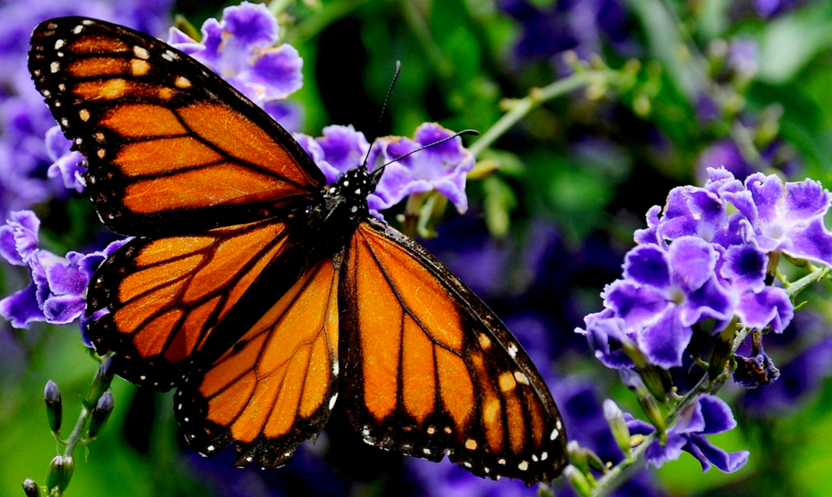 The Monarch Butterfly Is Almost Completely Extinct