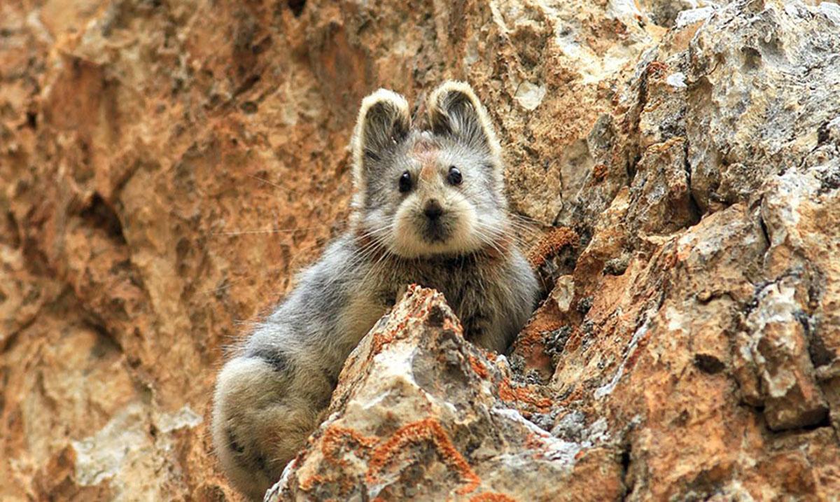 Rare And Endangered 'Magic Rabbit'