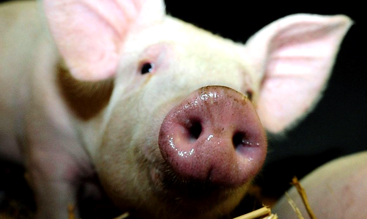 Yale Scientists 'Bring Back the Dead' By Restoring Brain Functions in Dead Pigs