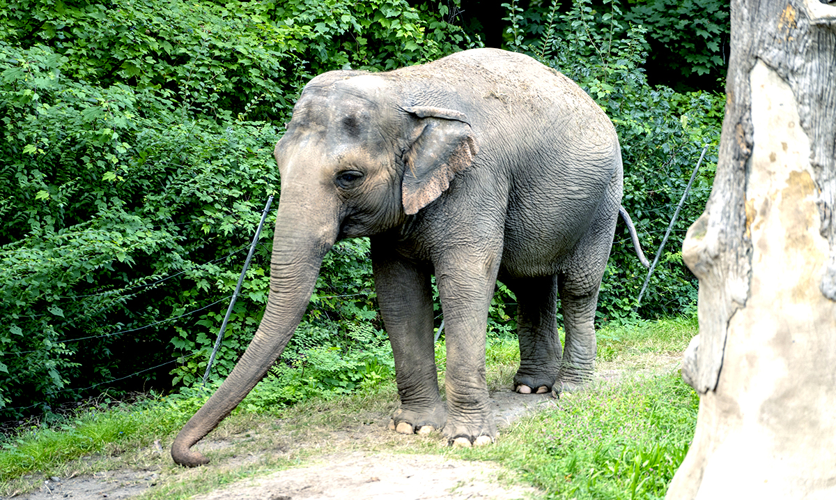 Help Save Happy The Elephant, The Unhappiest Elephant In The World