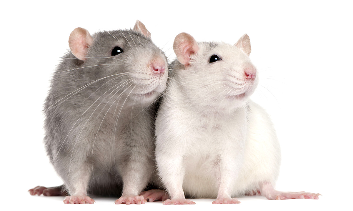 Study Shows GM Soy Kills Baby Rats In Only Three Weeks – What Is It Doing To Our Children?