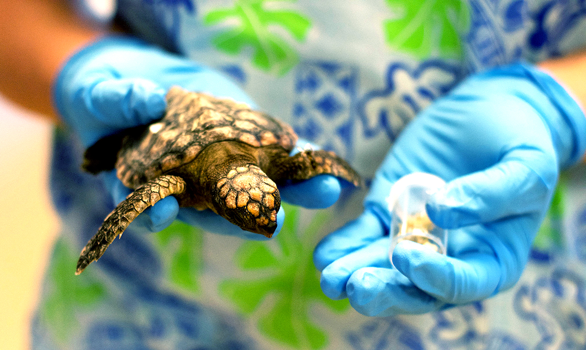 Half Of All Dead Baby Sea Turtles in Australia Have Stomach Fulls of Plastic