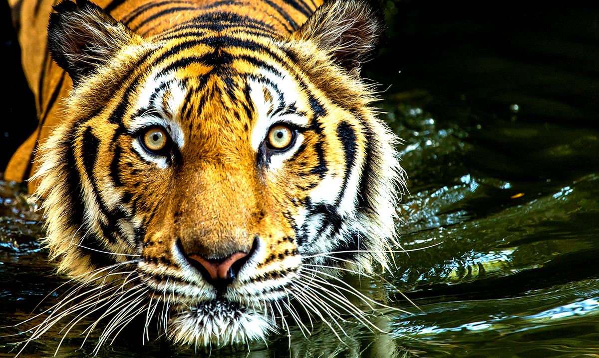 Tiger Populations In India Are Up 33%