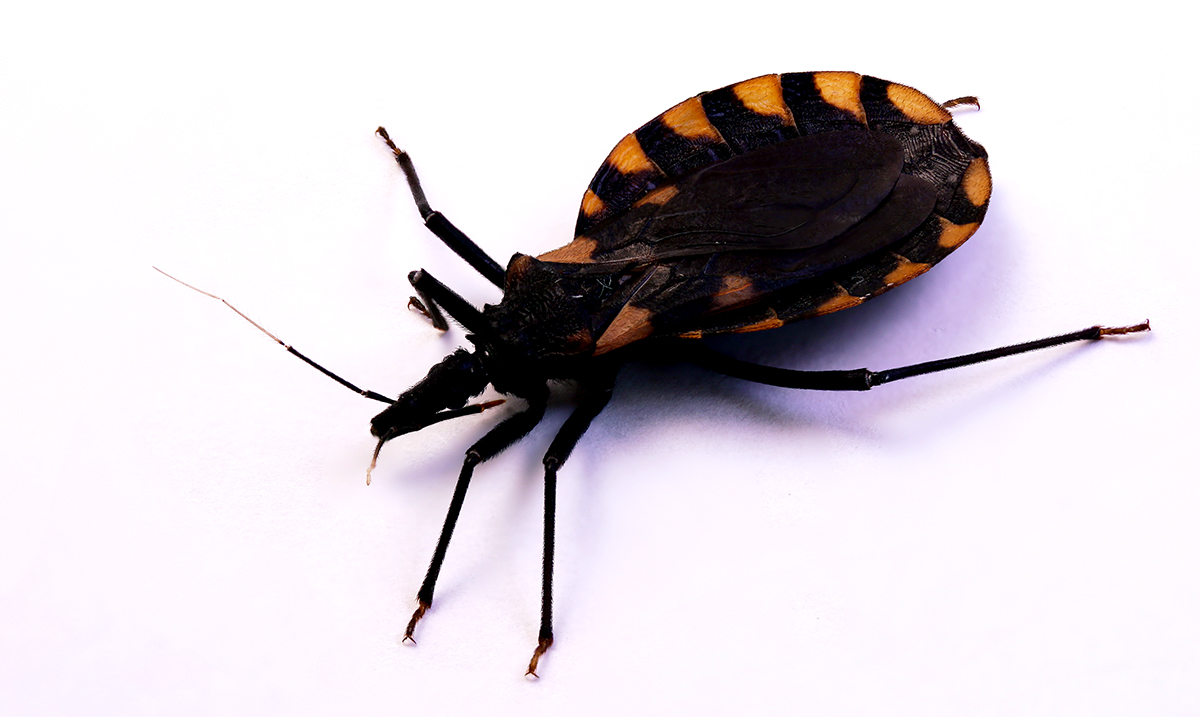 This Bug Spreads A Disease That Can Cause Heart Failure, 30,00 Americans Affected Each Year