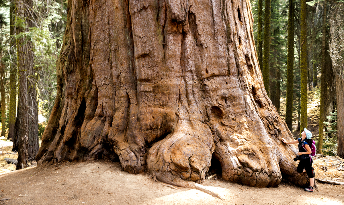 World's Largest Privately-Owned Sequoia Grove Being Sold For $15 Million