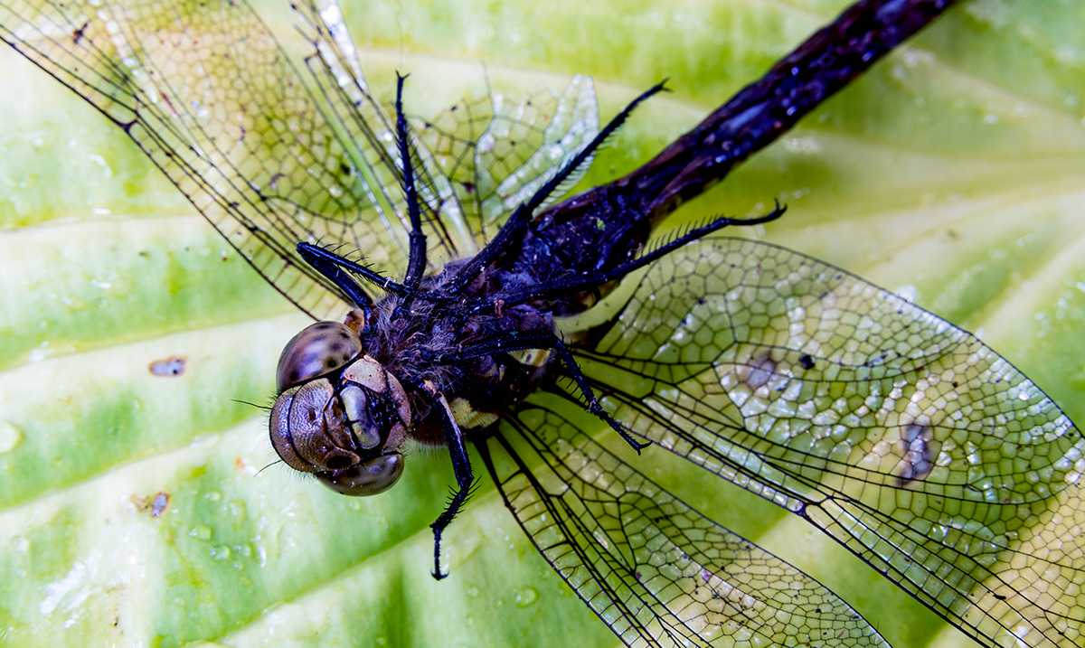 Female Dragonflies Will Literally Fake Their Own Deaths To Avoid Males