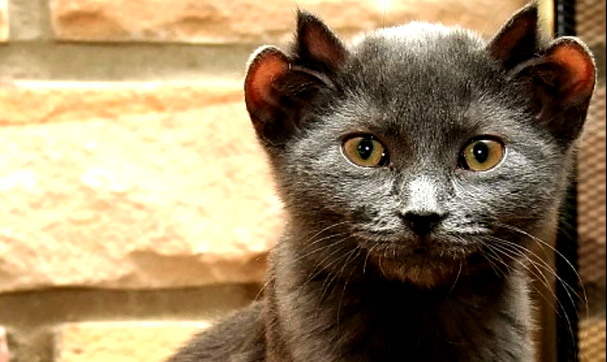 Meet The Rare Cat Born With Four Ears, Yoda His Name Is