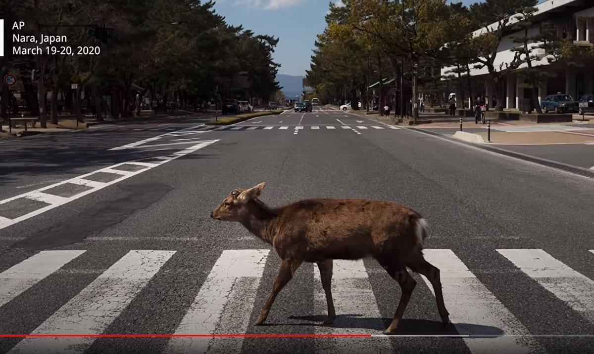 More Wildlife Spotted In Cities Across The World As Lockdown Ensues