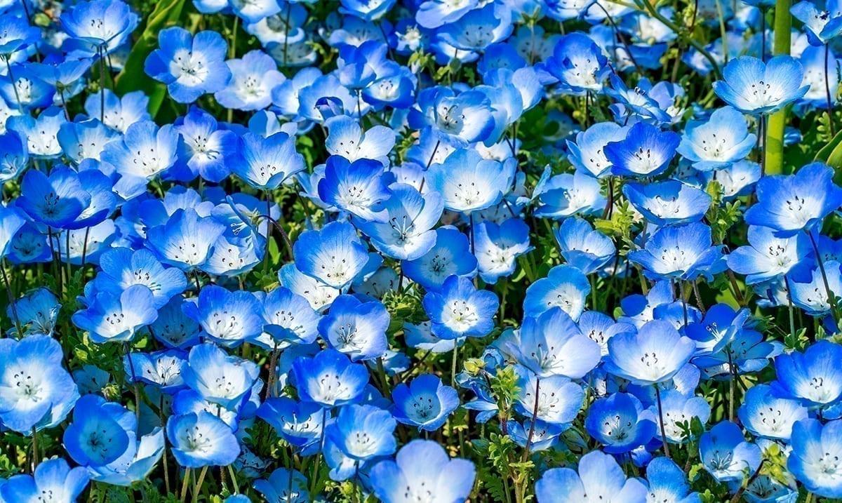 4.5 Million Flowers Bloom Across Japanese Park – A Magical Sea Of Blue