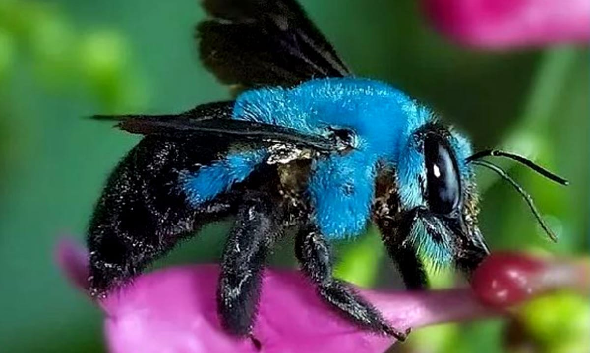 Florida's Long-Lost Blue Bee Was Rediscovered