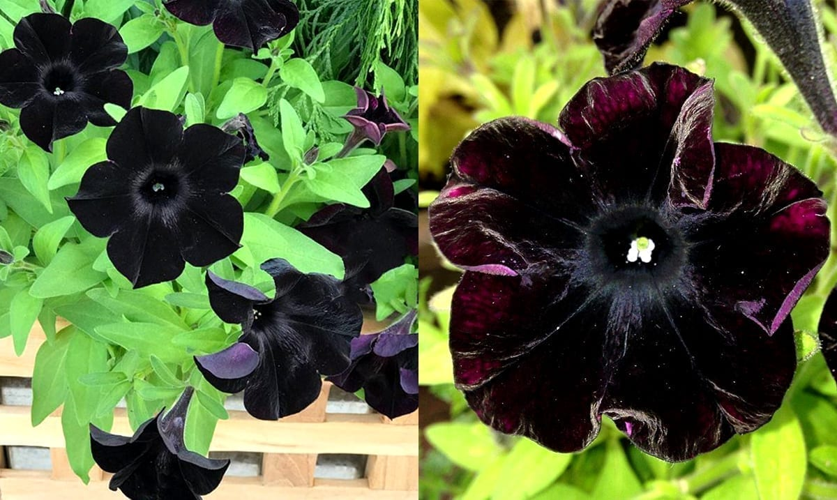 Black Magic Petunias Bring Out The Inner 'Goth' In All Of Us