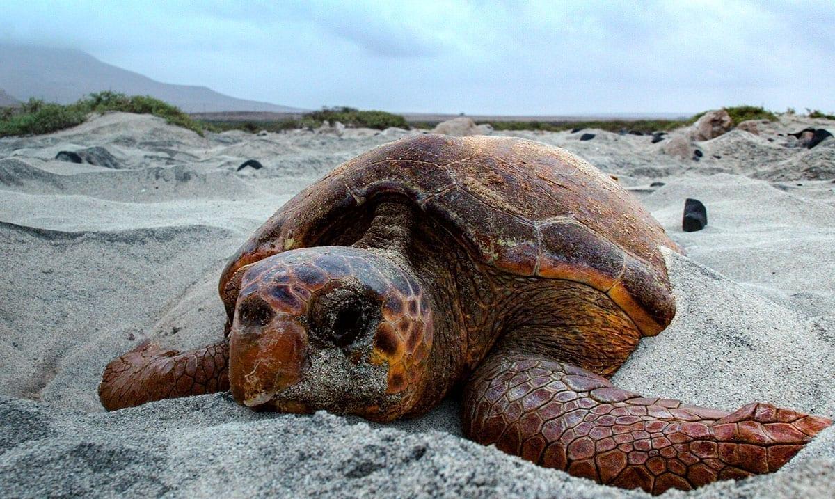 Hundreds Of Loggerhead Sea Turtles Found Dead On Same Coastline As Dead Sea Lions