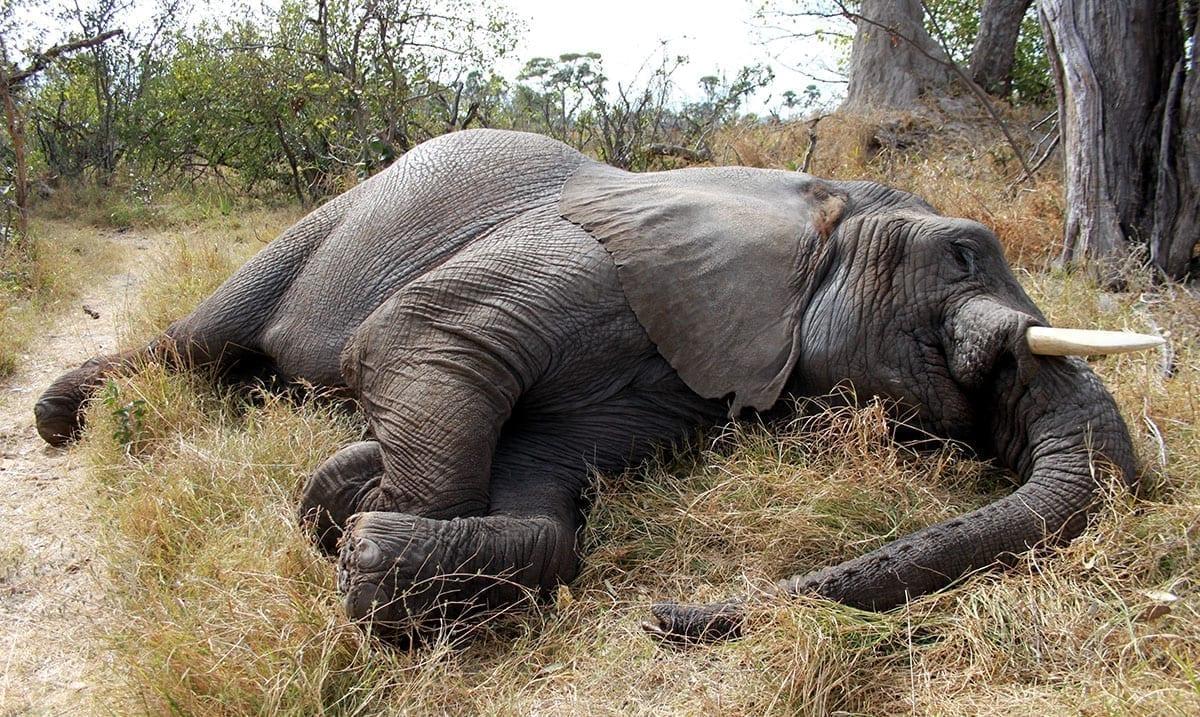 Mass Elephant Die-Off In Botswana