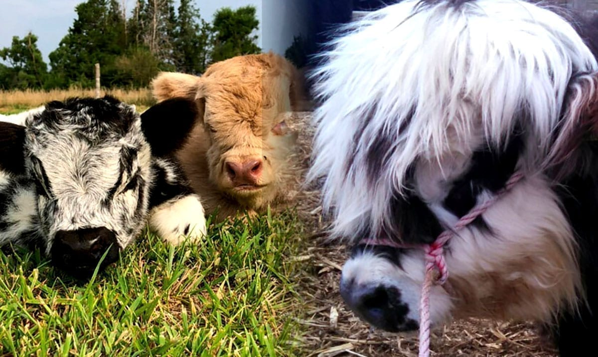 Fluffy Mini Cows Are Adorable And Yes, They Do Make Great Pets!