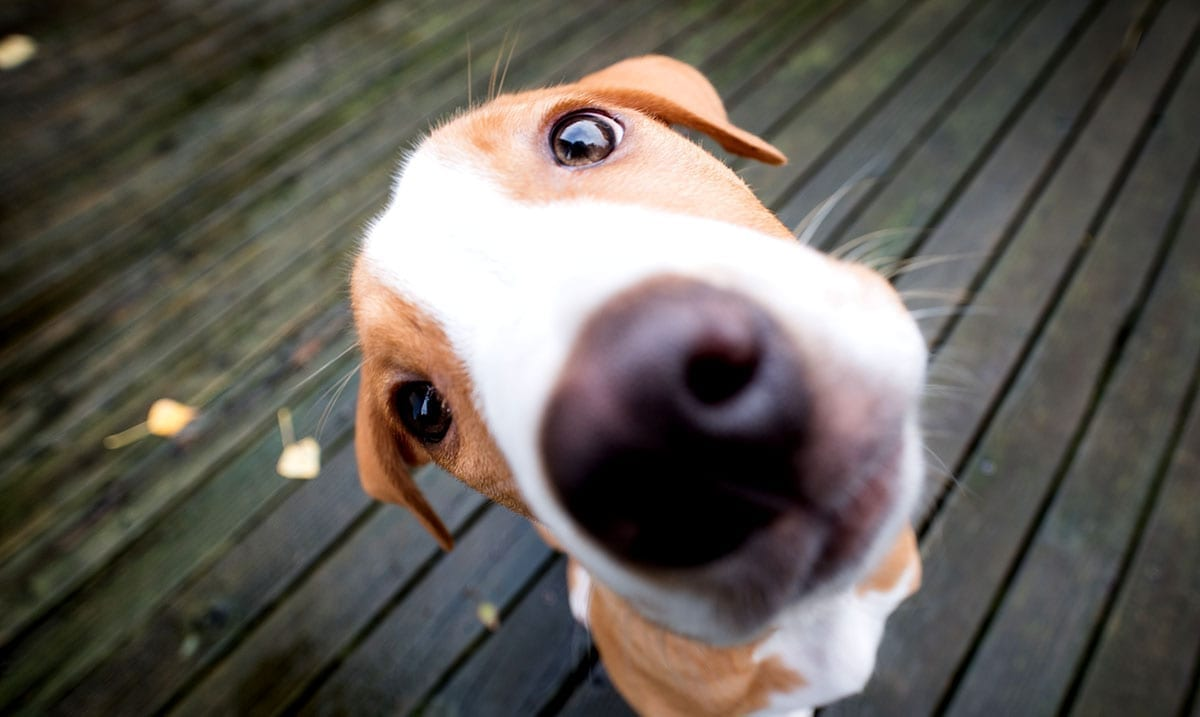 Dogs Might Not Understand As Much As We Think, Research Suggests