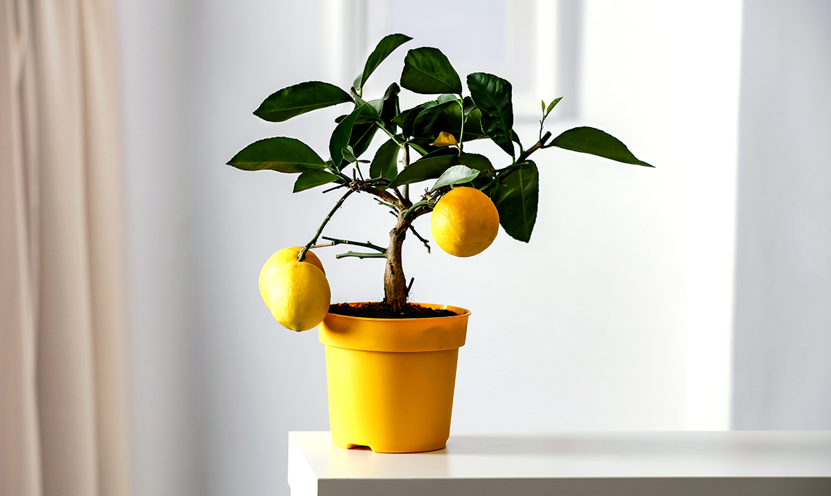 How To Plant Lemon In A Cup (Smells So Good!)